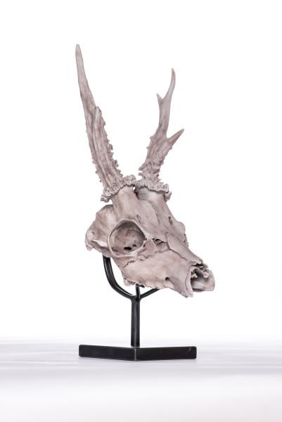 Evelyn Gottschall Baker, Red Deer Skull, 2019