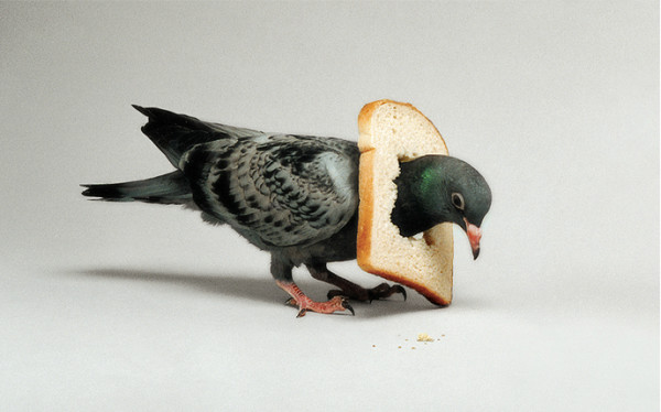 Pigeon, 2016