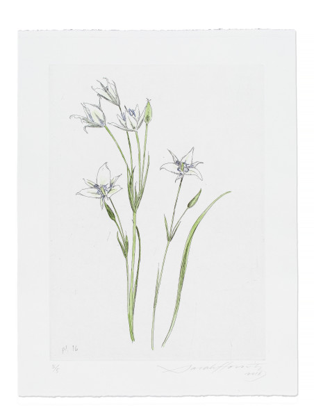 Sarah Horowitz, Cat's Ear Lily, 2016