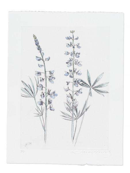 Sarah Horowitz, Wyeth's Lupine, 2016