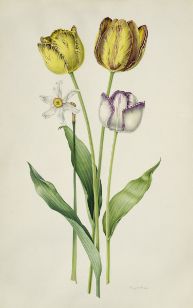 Rory McEwen, James Wild, Sir Joseph Paxton and Adonis Tulips with Narcissus