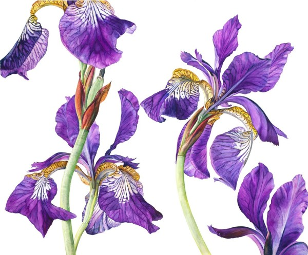 Rosie Sanders Iris sibirica Watercolour on Arches 640gsm paper 40 x 48.75ins (102 x 124cm)