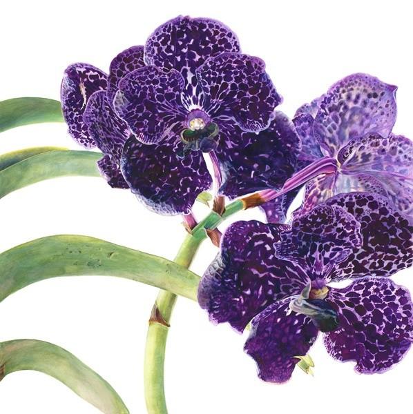 Rosie Sanders, Vanda Orchid I
