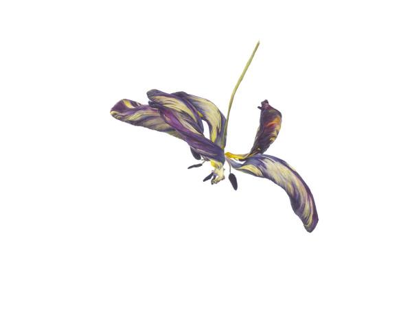 Fiona Strickland Tulipa 'Joseph Paxton' (English Florists' Tulip) Watercolour on Kelmscott vellum 16.2 x 21.23ins (41.2 x 54cm) (artwork size) 21.5 x 26.8ins (54.5 x 68.2cm) (framed size)
