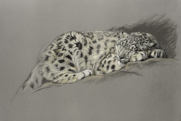 Gary Stinton, Study of Sleeping Snow Leopard