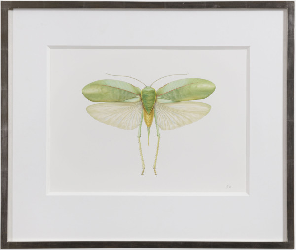 Georita Harriott Long Horned Grasshopper - Phyllopora grandis Watercolour on Fabriano paper 12.25 x 17ins (31.1 x 43.2cm) 18.5 x 21.75ins (framed size)