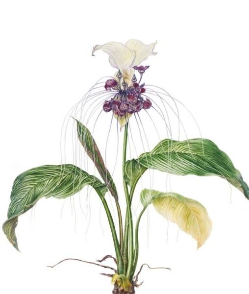 White batflower - 'Tacca integrifolia'