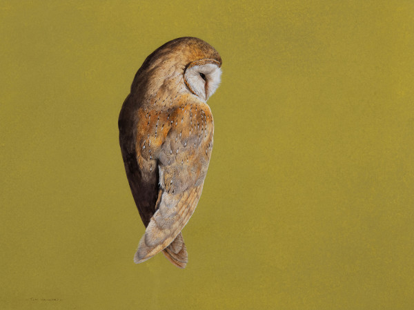 Tim Hayward Barn Owl - Chartreuse Watercolour and gouache on Fabriano Artistico 300gsm paper 18 × 22 ins (45.72 × 55.88 cm)