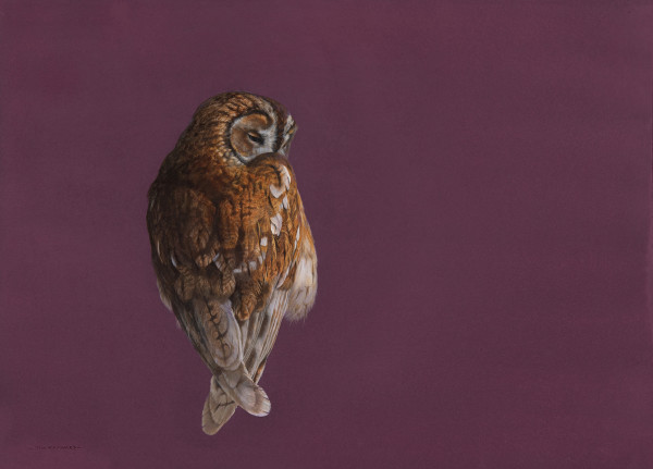 Tim Hayward Tawny Owl - Mulberry Watercolour and gouache on Fabriano Artistico 300gsm paper 18 × 22 ins (45.72 × 55.88 cm)