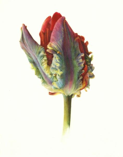 Fiona Strickland, Tulip 'Rococo' Study