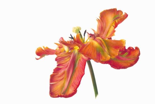 Fiona Strickland Tulipa 'Blumex Parrot' Watercolour on Kelmscott vellum 11 x 16.2ins (28 x 41.1cm) (artwork size) 16.3 x 21.6ins (41.4 x 54.7cm) (framed size)