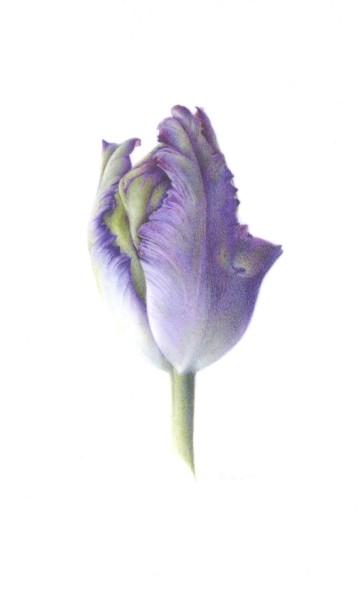 Fiona Strickland, Black Parrot Bud (Tulipa 'Black Parrot')