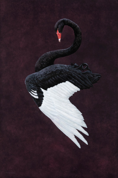 Tim Hayward Black Swan - Aubergine Watercolour and gouache on Fabriano Artistico 300gsm paper 60 × 40 ins (152.4 × 101.6 cm)