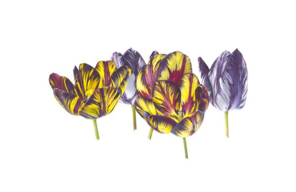 Fiona Strickland, English Florists' Tulip Group Portrait - Tulipa 'Lord Stanley', Tulipa 'Talisman', & Tulipa 'Joseph Paxton Flame'