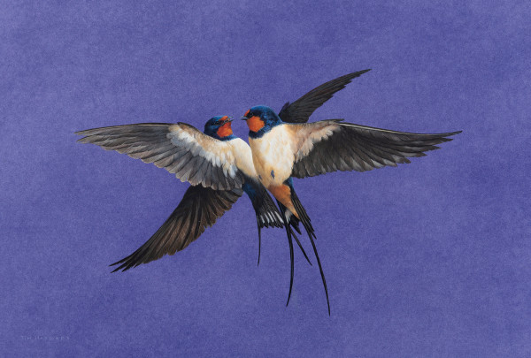 Tim Hayward Swallows - Amethyst Watercolour and gouache on Fabriano Artistico 300gsm paper 12 × 18 ins (30.48 × 45.7 cm)
