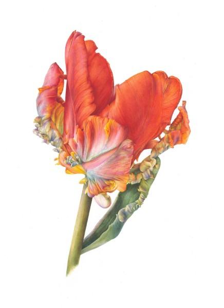 Fiona Strickland Parrot Tulip, Rococo (Tulipa 'Rococo') Watercolour on Fabriano Artistico HP 640gsm 27 x 21ins (68.6 x 53.3cm) (artwork size) 28.34 x 22.44 x 1.37ins (72 x 57 x 3.5cm) (framed size)