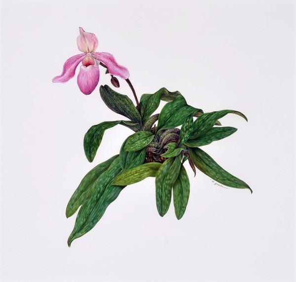 Kate Nessler, Paphiopedilum Delenatii x P. Chamberlainianum, 1995