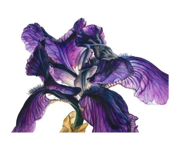 Rosie Sanders, Bearded Iris