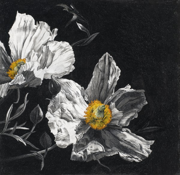 Rosie Sanders, Californian Tree Poppy