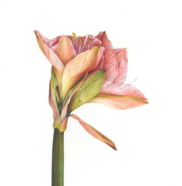 Fiona Strickland Hippeastrum (Hippeastrum 'Apple Blossom') Watercolour on Fabriano Artistico HP 640gsm 20.75 x 19.5ins (52.7 x 49.5cm) (artwork size) 22.25 x 20.75 x 1.37ins (56.5 x 53 x 3.5cm) (framed size)