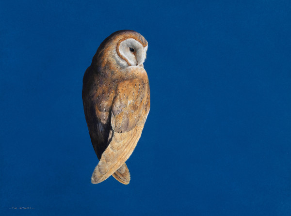 Tim Hayward Barn Owl - Ultramarine Watercolour and gouache on Fabriano Artistico 300gsm paper 18 × 22 ins (45.72 × 55.88 cm)