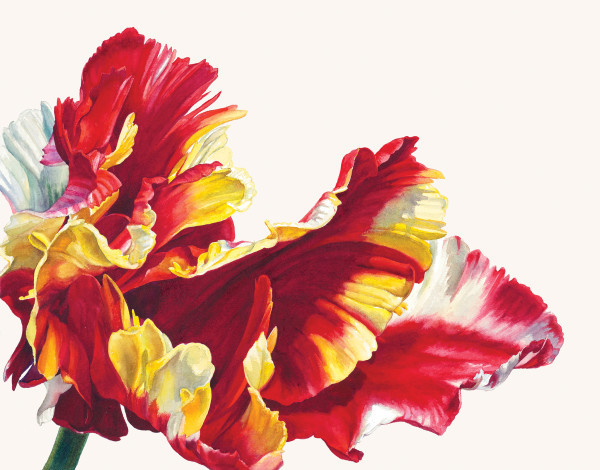 Rosie Sanders  Tulipa 'Flaming Parrot'  Watercolour on Richard de Bas handmade paper  15.35 x 19.68ins (39 x 50cm)