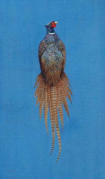 Tim Hayward Ring-Necked Pheasant - Azure Watercolour and gouache on Fabriano Artistico 300gsm paper 42 × 25 ins (106.68 × 63.5 cm)