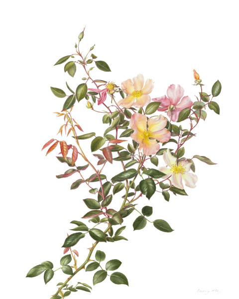 Beverly Allen ROSA CHINESIS 'MUTABILIS' Watercolour on Arches paper 19.89 x 15.75ins (50 x 40cm)