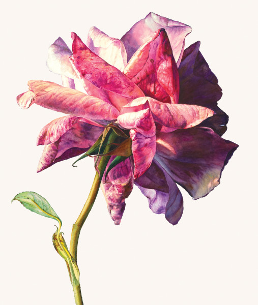 Rosie Sanders, Sue's rose