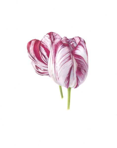 Fiona Strickland, Tulipa 'Akers' and 'Mabel' (English Florists' Tulips)