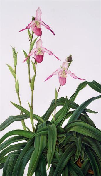 Kate Nessler, Phragmipedium Schroederae 'Roseum', 1995