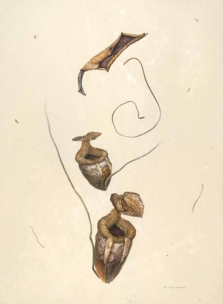 Mieko Ishikawa, Nepenthes villosa