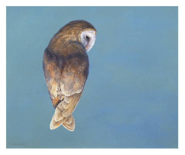 Tim Hayward Barn Owl - Cerulean, 2020 signed watercolour and gouache on Fabriano Artistico 300gsm paper 18 x 22ins (45.72 x 55.88cm)