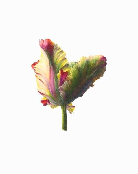 Fiona Strickland Tulipa 'Flaming Parrot' Watercolour on Kelmscott vellum 8.9 x 7.1ins (22.5 x 18cm) (artwork size) 13.3 x 11.5ins (33.7 x 29.3cm) (framed size)