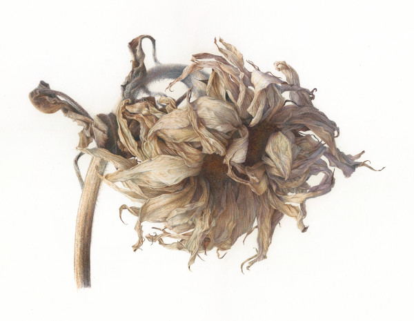 Fiona Strickland, Helianthus, Dried Sunflower