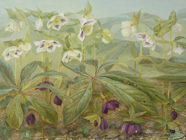 Jane Wormell Hellebores Oil on linen 23.5 x 31.5ins (60 x 80cm)
