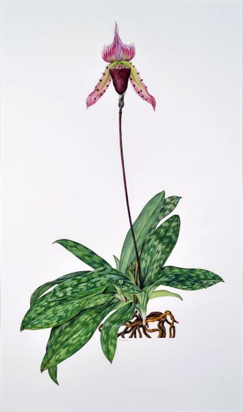 """Kate Nessler, Paphiopedilum callosum (Osimis """"Ra"""" x callosum '""""Madre de dios""""), 1995"""