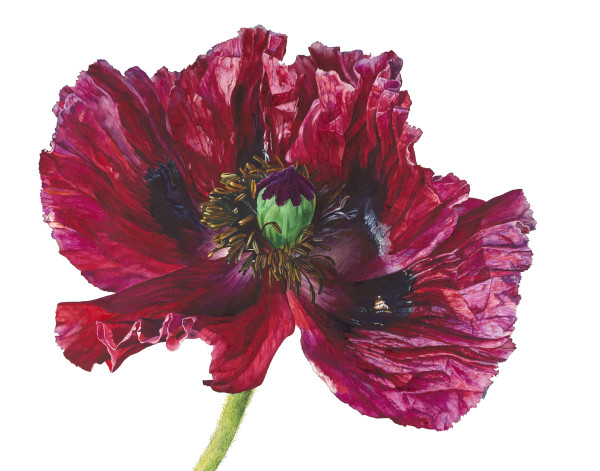 Rosie Sanders, Red poppy