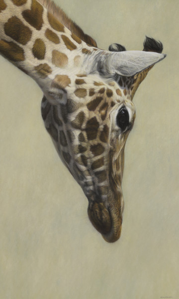 Gary Stinton Rothschild's Giraffe Head Inclined Pastel on museum board 36 x 22ins (91.4 x 55.8cm)