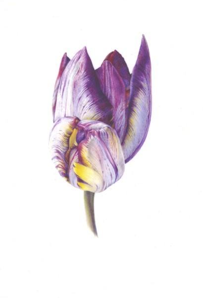 Fiona Strickland, Duet (Tulipa 'Insulinde')