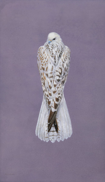 Tim Hayward Gyrfalcon - Violaceous Watercolour and gouache on Fabriano Artistico 300gsm paper 42 × 25 ins (106.68 × 63.5 cm)