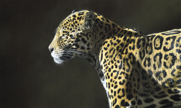 Gary Stinton Jaguar in Profile Pastel on museum board 22 x 36ins (55.8 x 91.4cm)