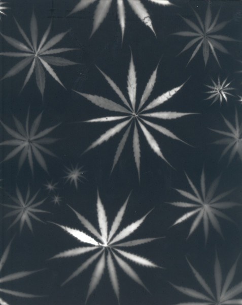 Fred Tomaselli Untitled, 2002 photogram of marijuana leaves 14 x 16 in.