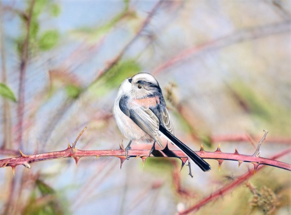 Long Tailed Tit 2012