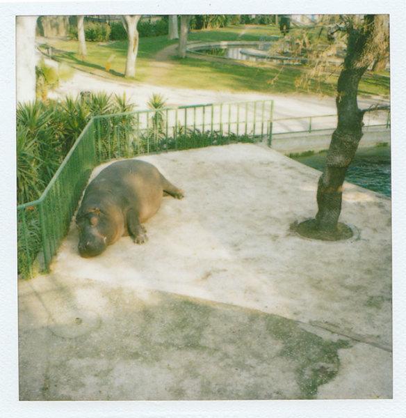 Zoo Polaroid (Barcelona) - Hippo 2008 polaroid photograph 7.9 x 7.6 cm (image size) / 31 x 23.5 cm framed