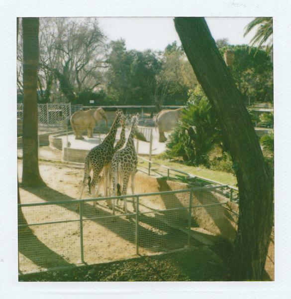 Zoo Polaroids (Barcelona) - Giraffes 2008 polaroid photograph 7.9 x 7.6 cm (image size) / 31 x 23.5 cm framed