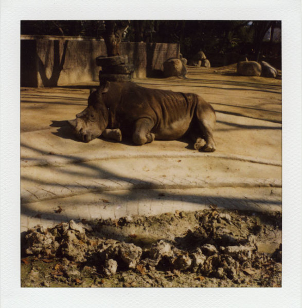 Zoo Polaroid (Barcelona) - Rhino 2008 Polaroid photograph 7.9 x 7.6 cm (image size) / 31 x 23.5 cm framed
