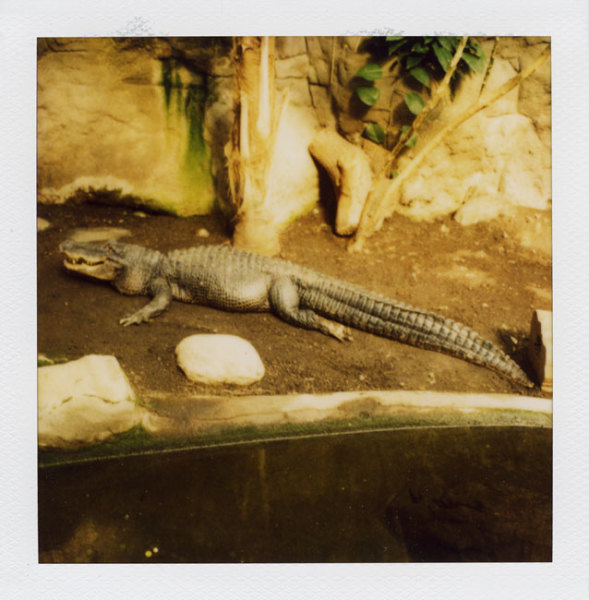 Zoo Polaroid (Barcelona) - Alligator 2008 Polaroid photograph 7.9 x 7.6 cm (image size) / 31 x 23.5 cm framed | Please contact the Gallery for further information