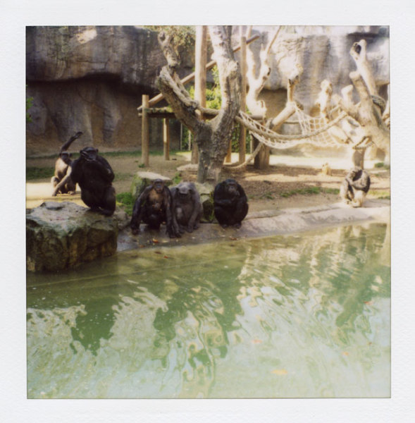 Zoo Polaroid (Barcelona) - Chimpanzee 2008 Polaroid photograph 7.9 x 7.6 cm (image size) / 31 x 23.5 cm framed