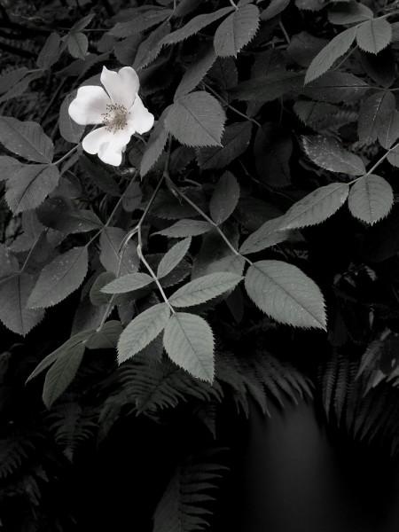 Peter-Cornell Richter #022149 Kleine Rose, 1/3, 2020 Fotografie, Pigmentfarbe auf Papier 34,5 x 25,9 cm 1250 €